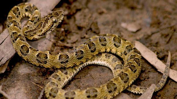 Descubren una nueva especie de serpiente venenosa, en Perú