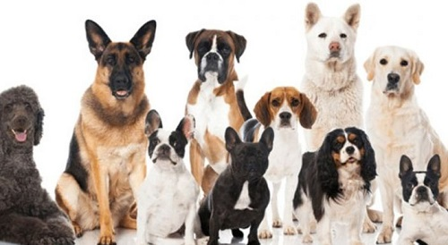 Los perros pueden detectar el cáncer en la sangre