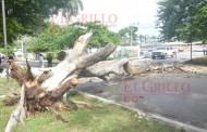Enorme árbol cae en Tizimín y rompe cables de alta tensión