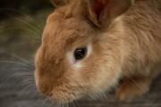 El conejo es declarado en peligro de extinción