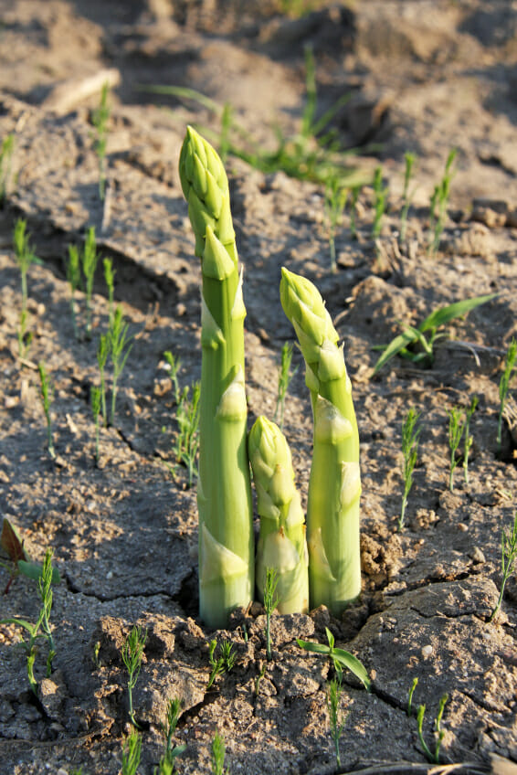 three green asparagus spears break the surface in early spring