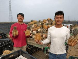 パイナップル農家