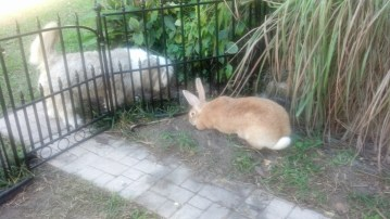 Our new fawn, Flemish Giant checking out the bunny garden (breeders, Gentle Giants).