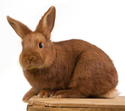 Rabbit-Thrianta-The_beautiful_thick_red_fur_of_a_Thrianta_rabbit