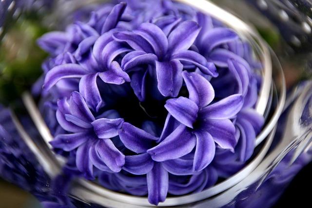 hyacinth-top
