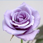 自然界に存在しない「青いバラ」は受け入れられるのか