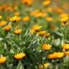 風が強い冬のベランダに。黄色の「カレンデュラ」で明るい寄せ植え