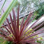コルジリネの寄せ植え。ふんわり優しいカラーリーフの組み合わせ3種類。