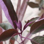 ニンジンボクプルプレア(ミツバハマゴウ)の紫が映える!秋冬カラーリーフ寄せ植え