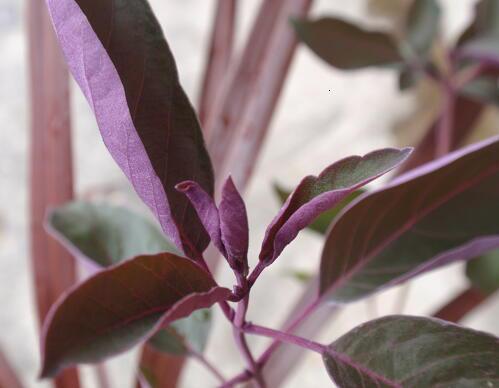 セイヨウニンジンボク・プルプレアの葉色