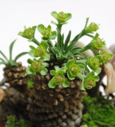 ソテツキリンの花