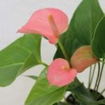 風水で人気の観葉植物!可愛いピンクのアンスリウムで恋愛運・結婚運アップ