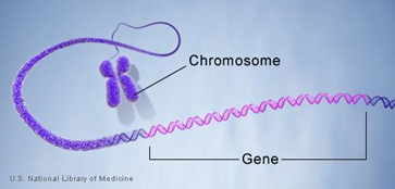 Each chromosome contains tightly wound strands of DNA