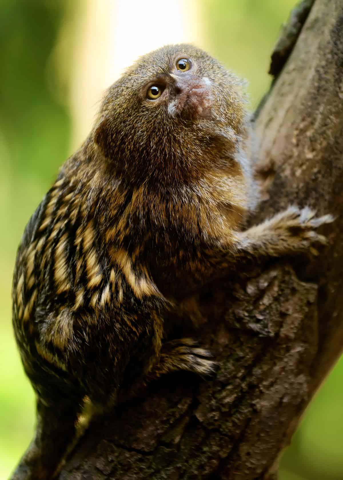 31 pygmy marmoset facts