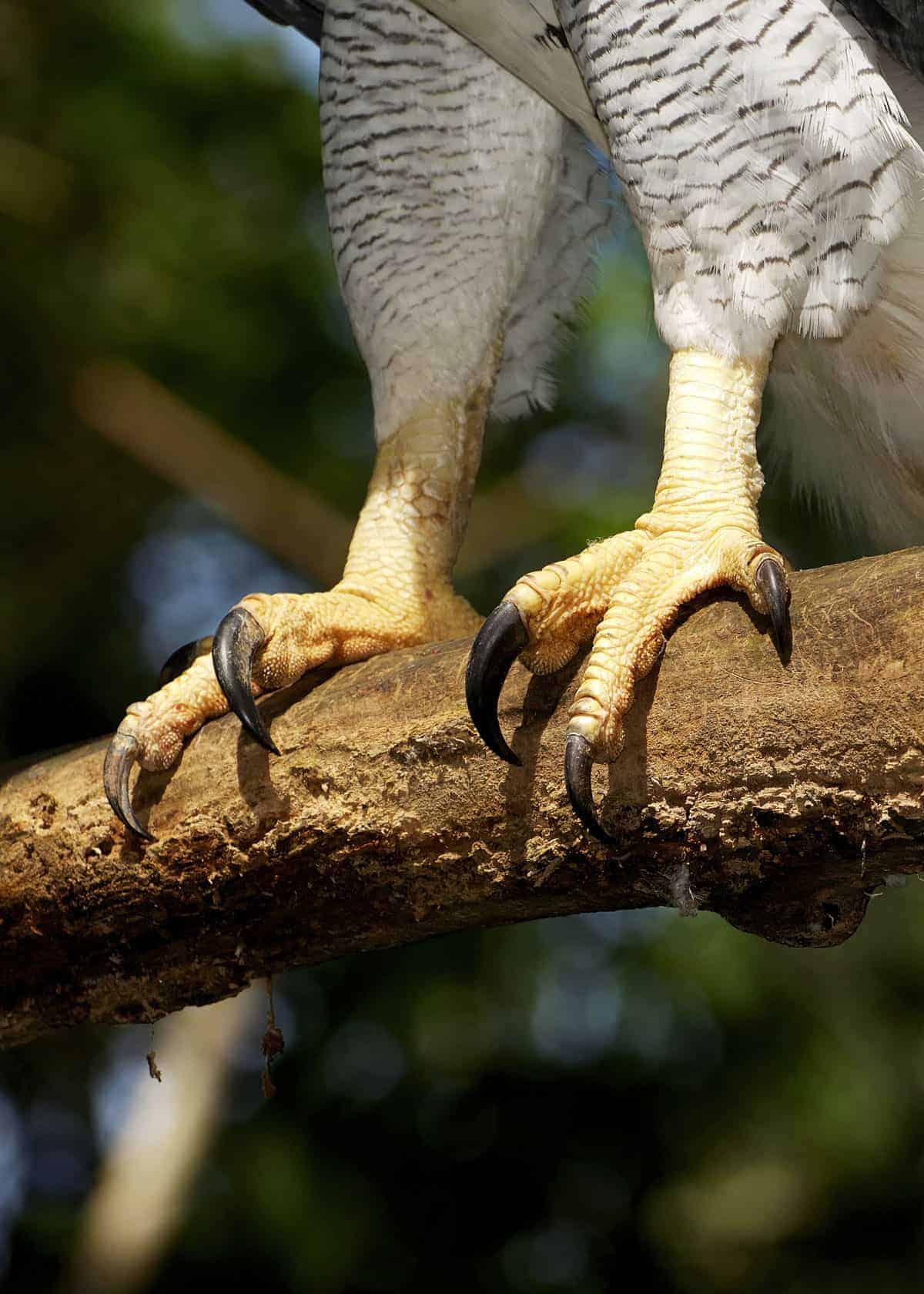 Eagle Talon Bird : eagle, talon, Eagle, Talon