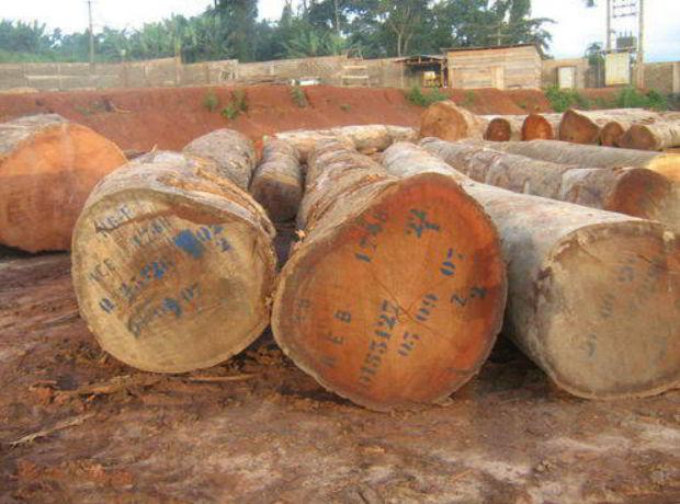 Bubinga Wood Tree