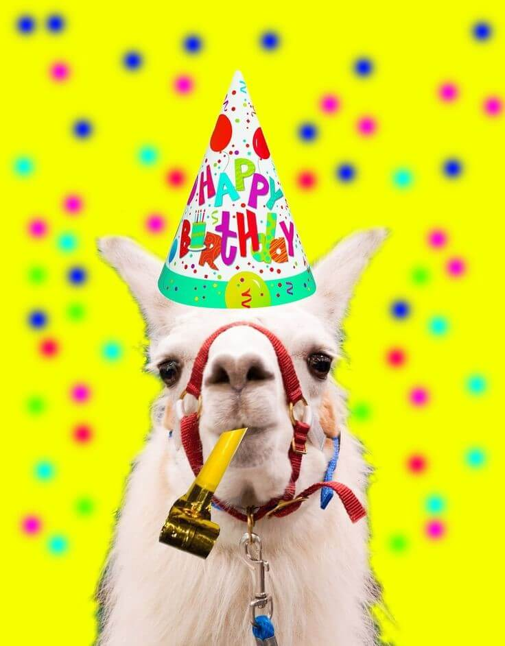 alpaca wearing birthday hat