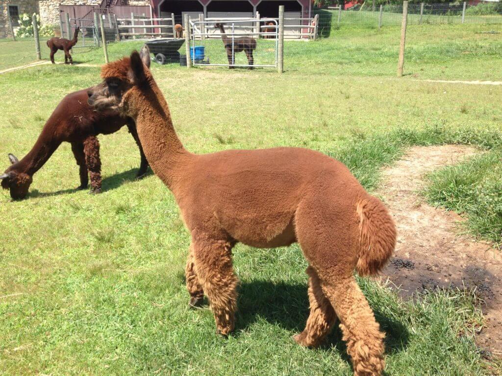 Dewres the alpaca from Grist Mill Farm