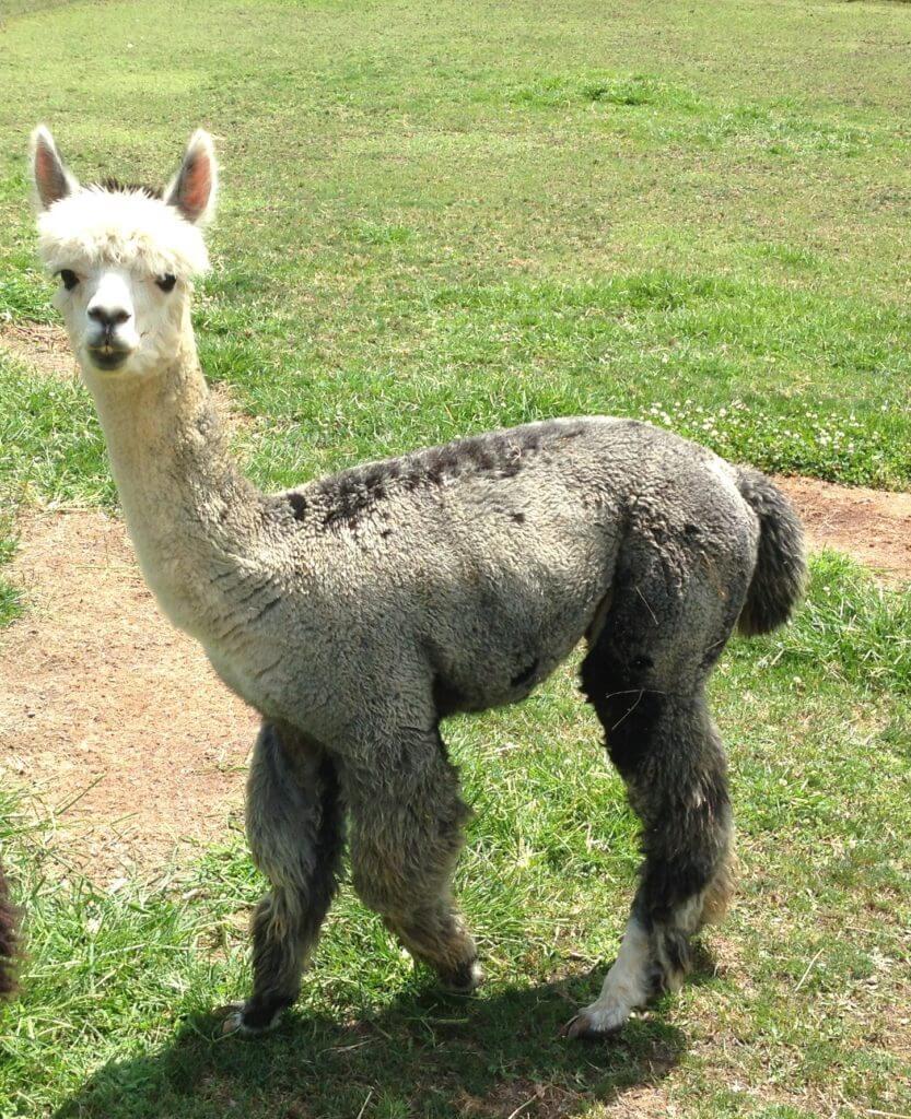 Gattlin the alpaca from Grist Mill Farm