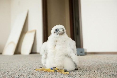 Tacoma Peregrine Falcons_12