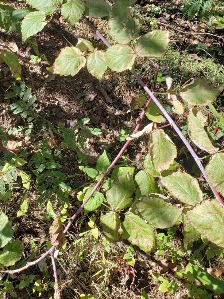 Black Raspberry vines in November