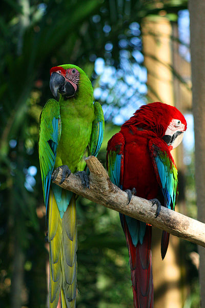 Two_macaws_at_Bali_Bird_Park-6