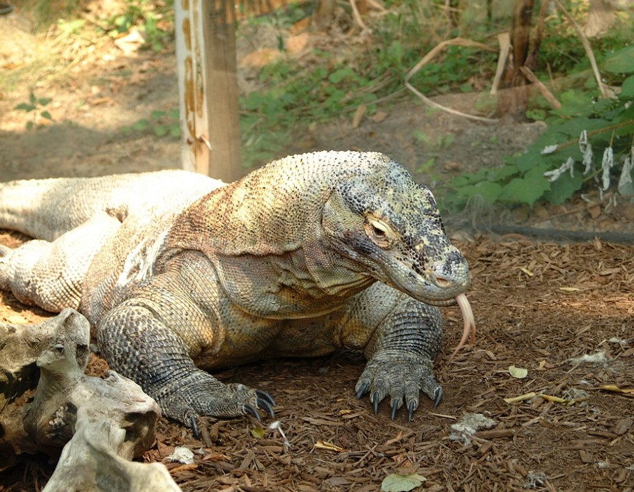 komodo-lizard
