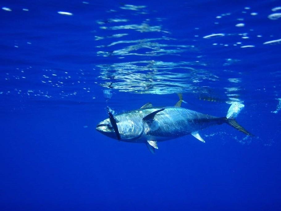 tuna-576938_960_720