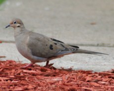 Mourning Doves are light gray and brownish and generally muted in color