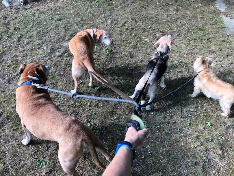 walking four dogs