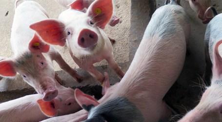 Febre suína ameaça subsistência de milhões de pessoas na Ásia