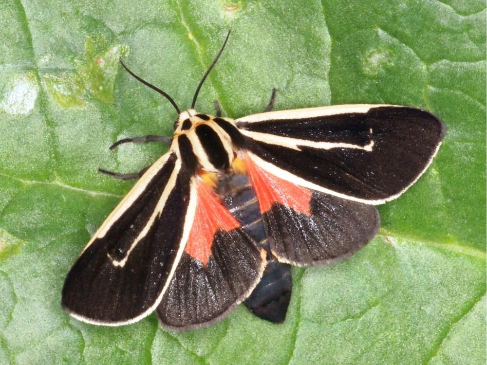Banded Tiger Moth, Apantesis vittata, JAK100 (2).jpg