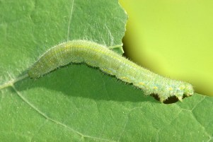 Pieris.rapae.caterpillar