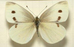 Pieris.rapae.mounted
