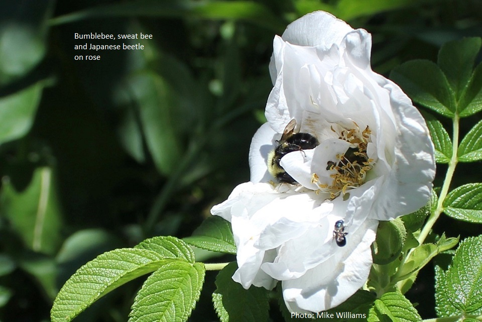 bee and japanese beetle on rose