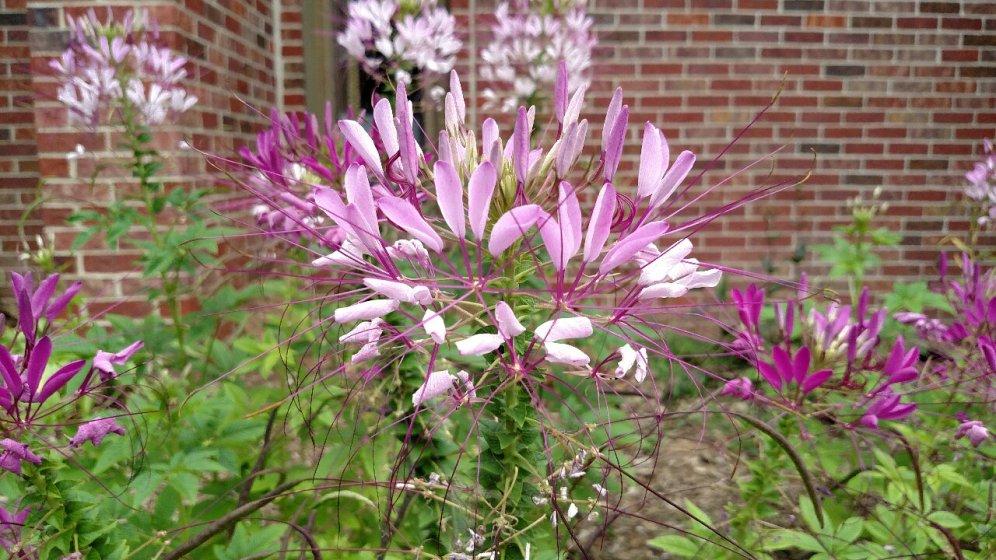 Clemoe ssp.