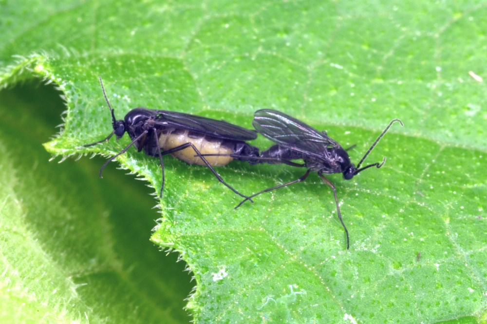dkwinged fungus gnats mating JAK112 (2)