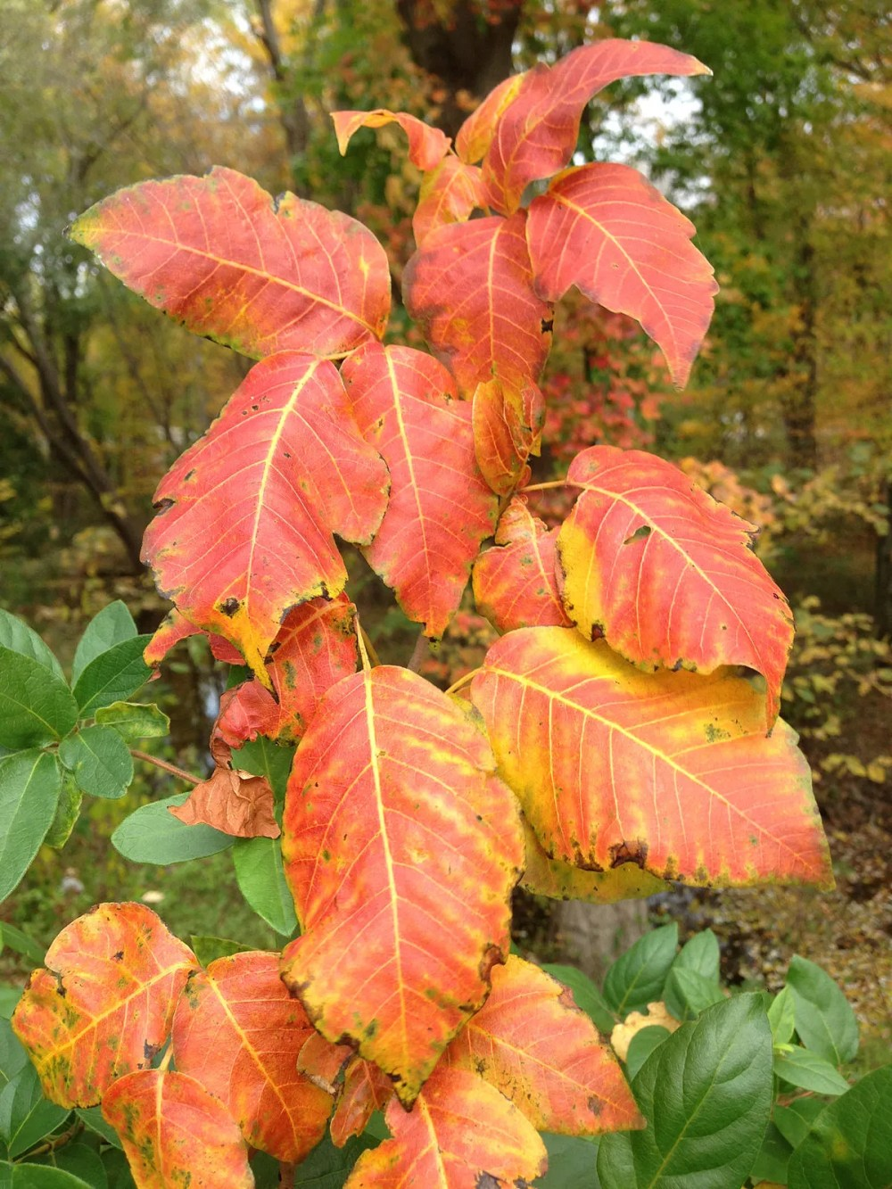 poison ivy fall color