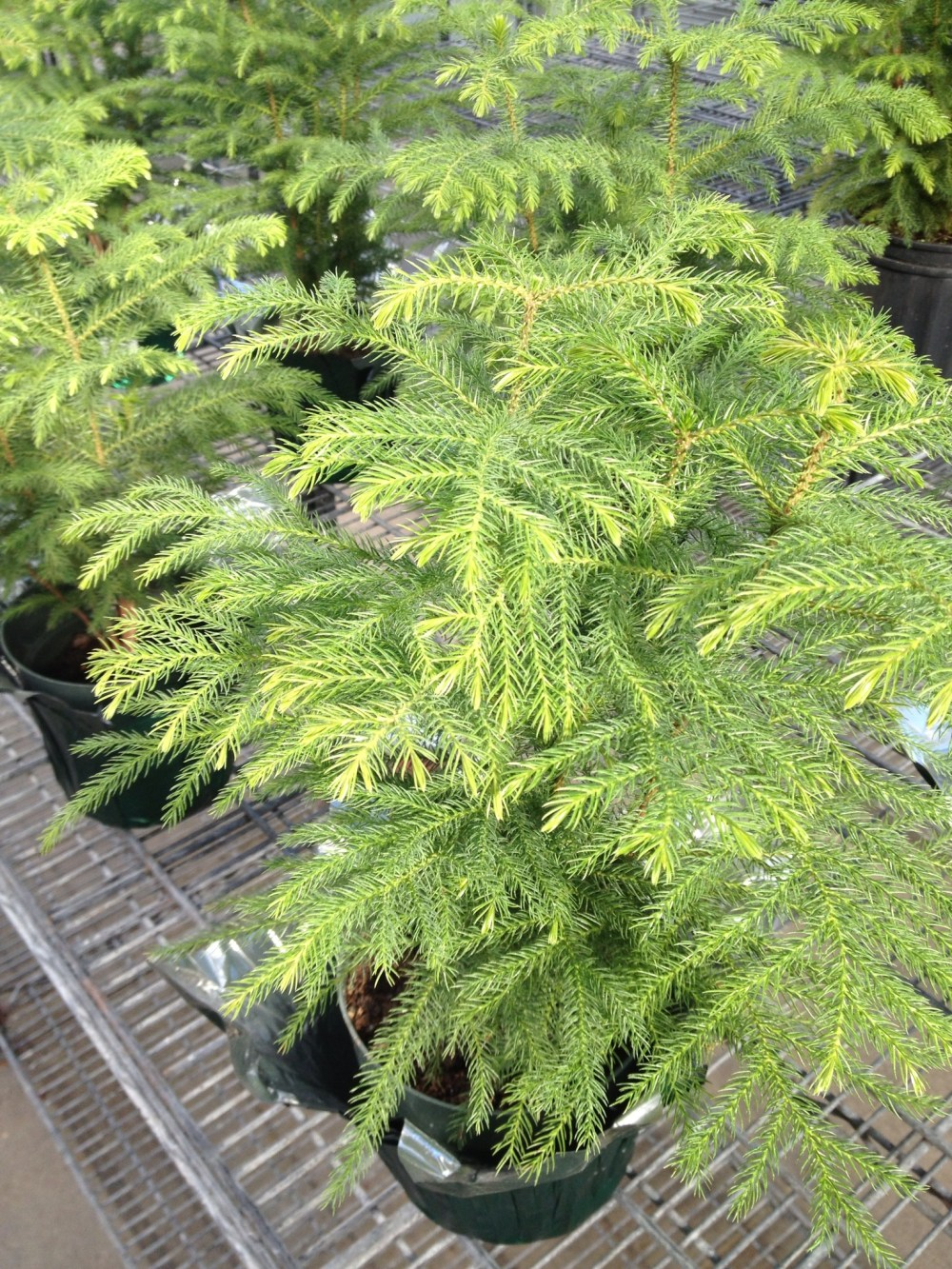 Norfolk Island Pine 1 (2).jpg