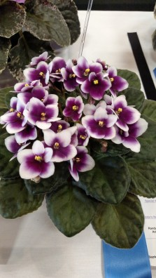 African violet 'King of Clubs'