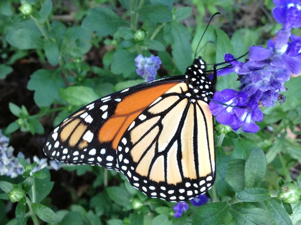 Monarch Butterfly, Danaus plexippus, JAK262
