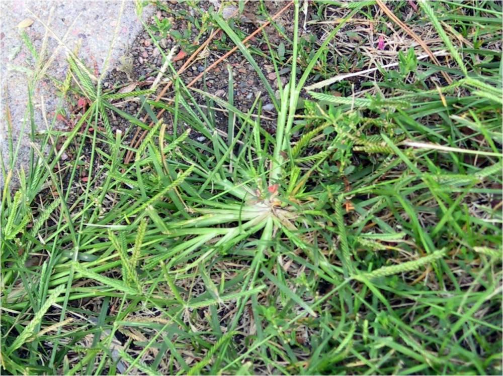 goosegrass unl