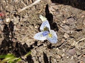 Iris histroides