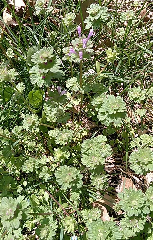 Henbit, Ground Ivy, and Speedwell – GRO Big Red