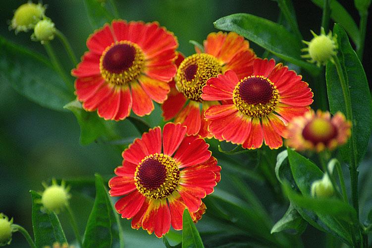 Helenium autumnale bicolor