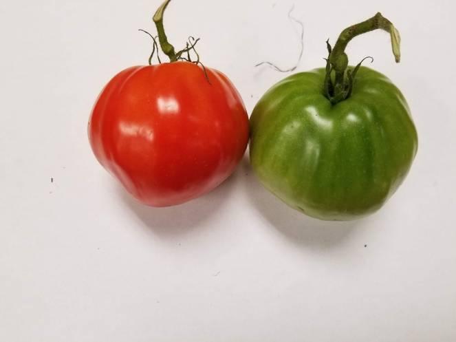 Mature green tomato next to a ripen tomato