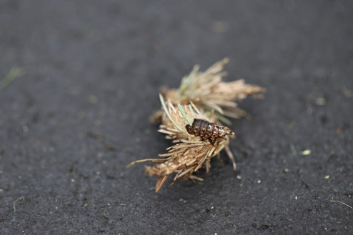 If you hand pick bagworms off the plant, and the caterpillars are still actively feeding, they will just walk about on to the nearest tree/shrub/plant/object. (Photo: J. Green)