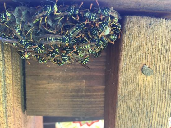 Paper wasp nest under the railing of the deck.