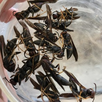 Sometimes homeowners find sleeping wasps indoors during the winter, these are overwintering future queens.