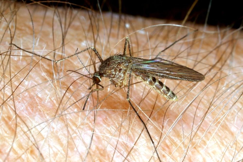 culex mosquito JAK806